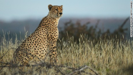 A cheetah looks out over plains at the Mashatu game reserve on July 24, 2010 in Mashatu game reserve, Botswana. Mashatu is a 46,000 hectare reserve located in Eastern Botswana where the Shashe river and Limpopo river meet.