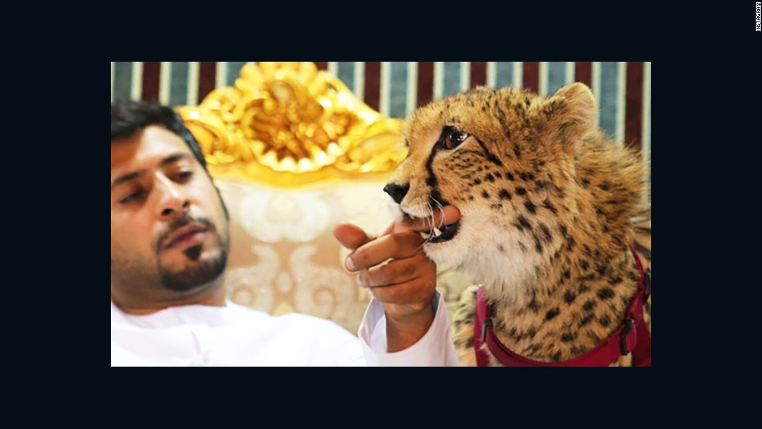 Cheetahs, tigers and lions banned as pets in the UAE
