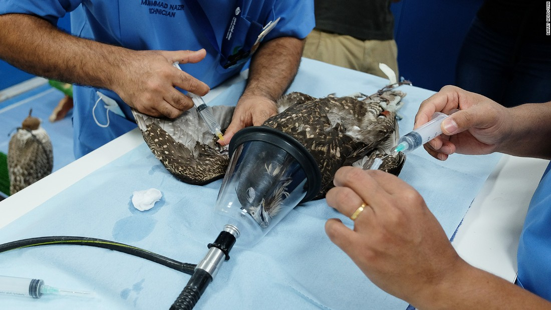 <strong>Dehydrated bird: </strong>Here a dehydrated falcon receives injections of saline and glucose. The hospital employs 107 staff and has a fully equipped laboratory.