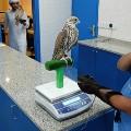 falcon-scales