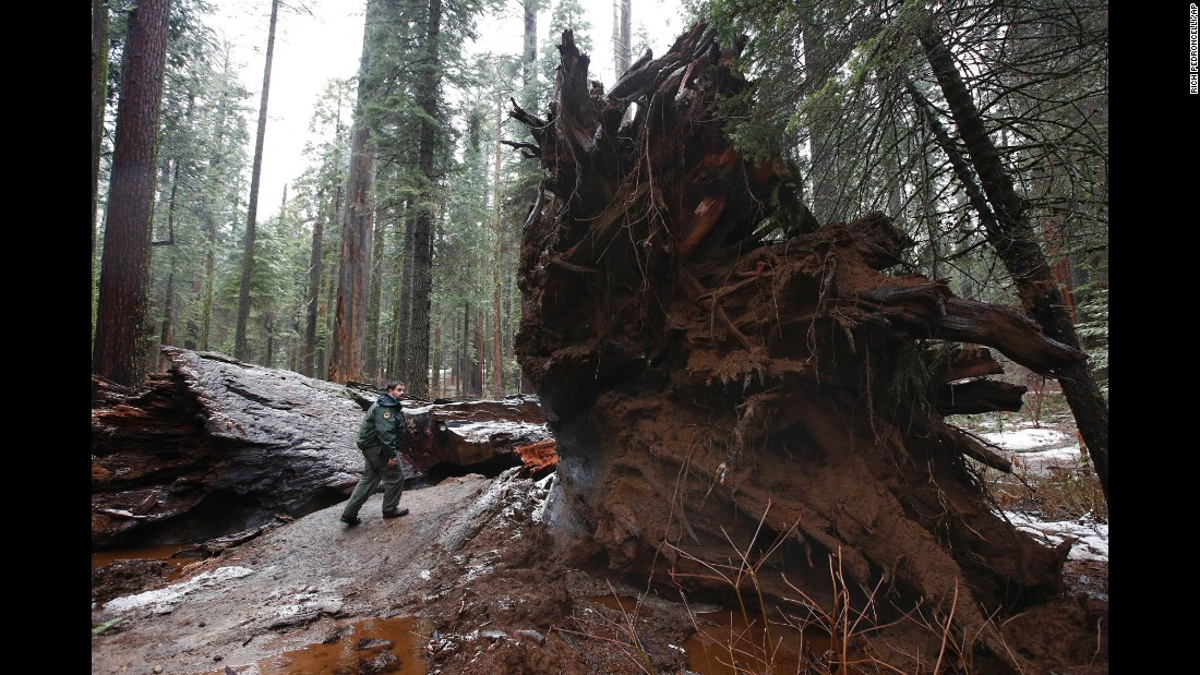 "Tony Tealdi, a supervising ranger for California State Parks, walks to the iconic Pioneer Cabin Tree that was <a href=""http://www.cnn.com/2017/01/09/travel/drive-through-tree-trnd/"" target=""_blank"">toppled by a massive storm</a> Monday, January 9, near Arnold, California. The giant sequoia, known for the ""drive-through"" hole in its trunk, was in Calaveras Big Trees State Park."