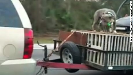 Authorities are investigating a Florida driver after video surfaced of a dog being chained to the top of an open trailer.