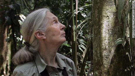 "British primatologist Jane Goodall looks at a tree 02 September, 2007, at La Selva Biological Station in Sarapiqui, 80kms noreast from San Jose. Goodall, best-known for her studies on chimpanzees, visits Costa Rica to see the course of her program ""Roots & Shoots"" involving children and young people with projects related with animals, the enviromental and the human community.  AFP PHOTO/Mayela LOPEZ (Photo credit should read MAYELA LOPEZ/AFP/Getty Images)"