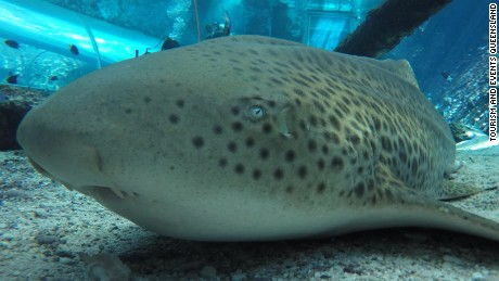 A female zebra shark in an Australian aquarium has astounded scientists by producing live offspring asexually, three years after being separated from her long-term mate.