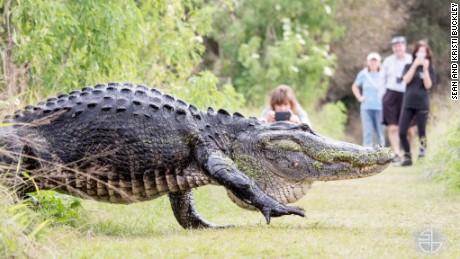 "Bull alligator known as ""Humpback"" became a viral sensation."