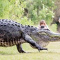 "Bull alligator known as ""Humpback"" became a viral sensation."