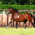 Frankel running - racehorse gal