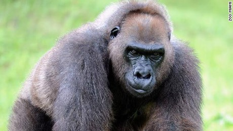 Josephine, grandmother of Harambe, has died at 49, Miami zoo officials say.