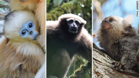 Endangered primate species identified in the report include (left to right) the Golden snub-nosed monkey, Eastern hoolock gibbon and Marmoset.