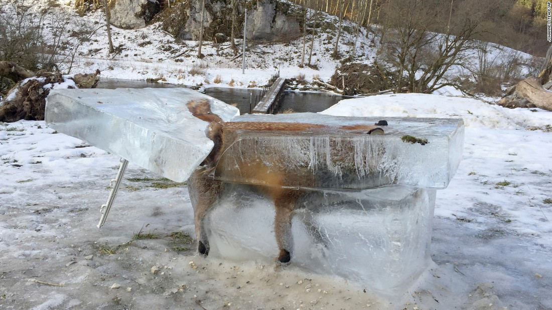 A block of ice, containing a drowned fox that broke through the thin river ice four days earlier, sits on the bank of the Danube River in Fridingen, Germany, on Friday, January 13.