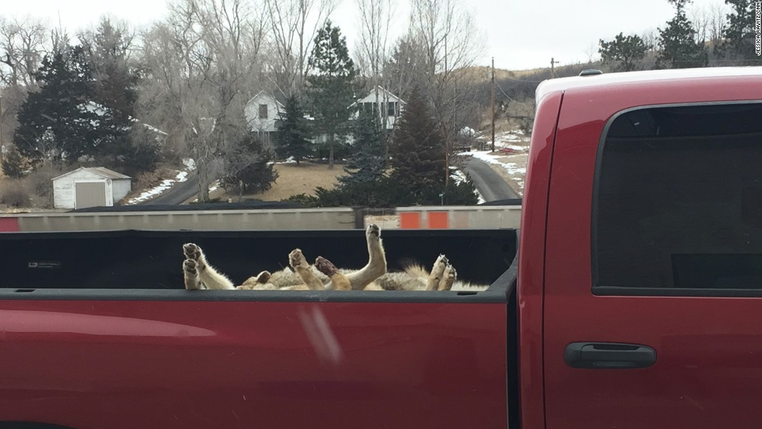 A couple times a month, people pull into the center of Hyannis with truck beds full of dead coyotes, which are a nuisance to ranchers. A buyer comes in from out of town to inspect and purchase the animals for the fur trade.