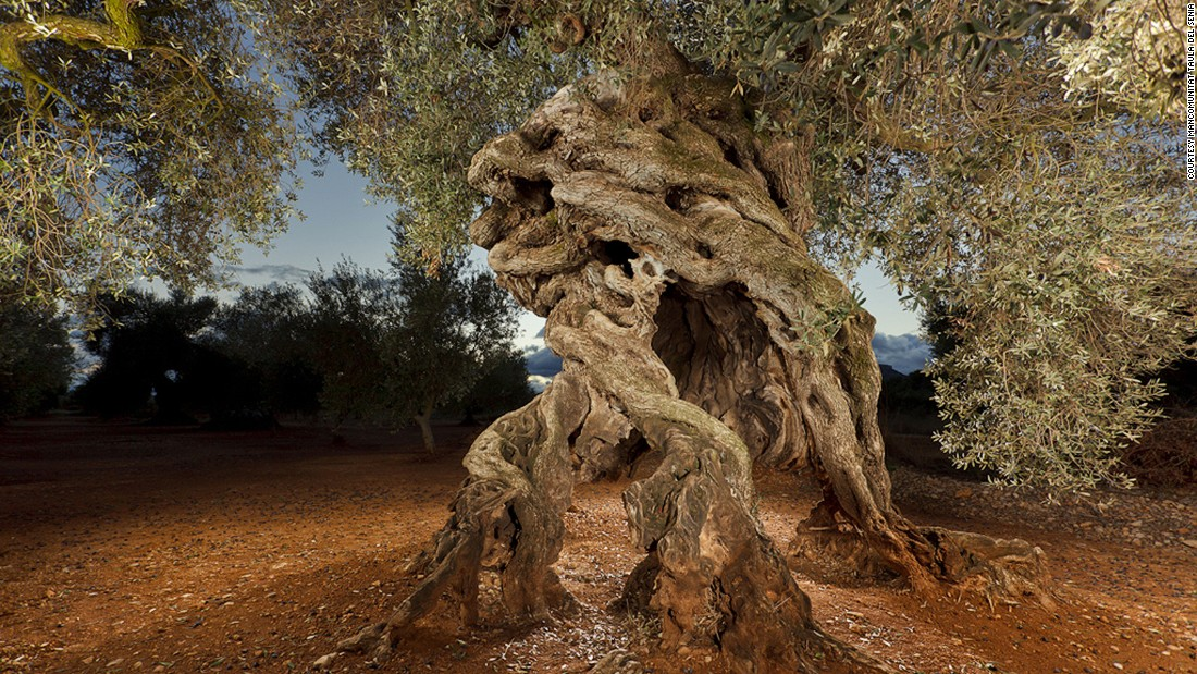 <strong>Millenary olive trees:</strong> The Montsià plains of southern Catalonia are home to the world's largest concentration of millenary olive trees.