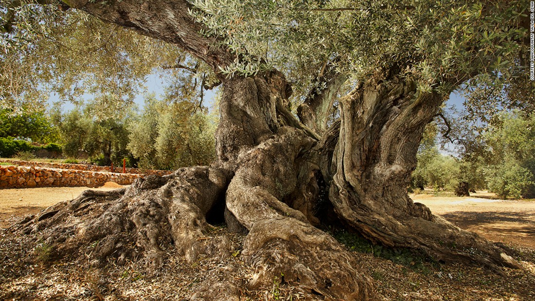 <strong>Ancient trees: </strong>More than 4,400 of these trees are thought to be more than 1,000 years old -- and many are still producing olives.