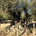 03-Millenary-olive-trees