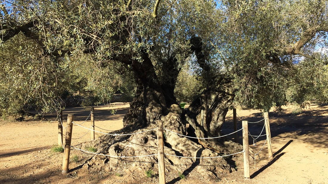 <strong>World's oldest?: </strong>Researchers at the Technical University of Madrid have found the Farga de l'Arión tree to be 1,700 years old. This makes it a strong contender for being the world's oldest olive tree.