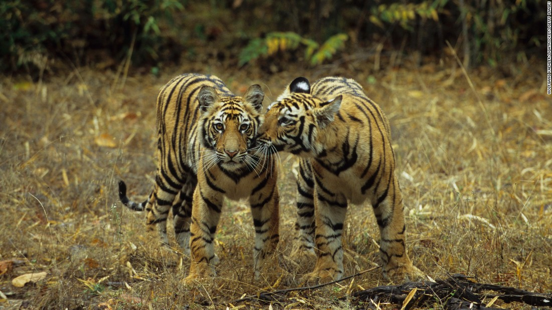 <strong>Bandhavgarh National Park, Madhya Pradesh:  </strong>This wildlife sanctuary in Madhya Pradesh is spread over 100 square kilometers and is home to more than 50 tigers. The park is open from October to June, but the best time to see tigers is from April to June. <br />