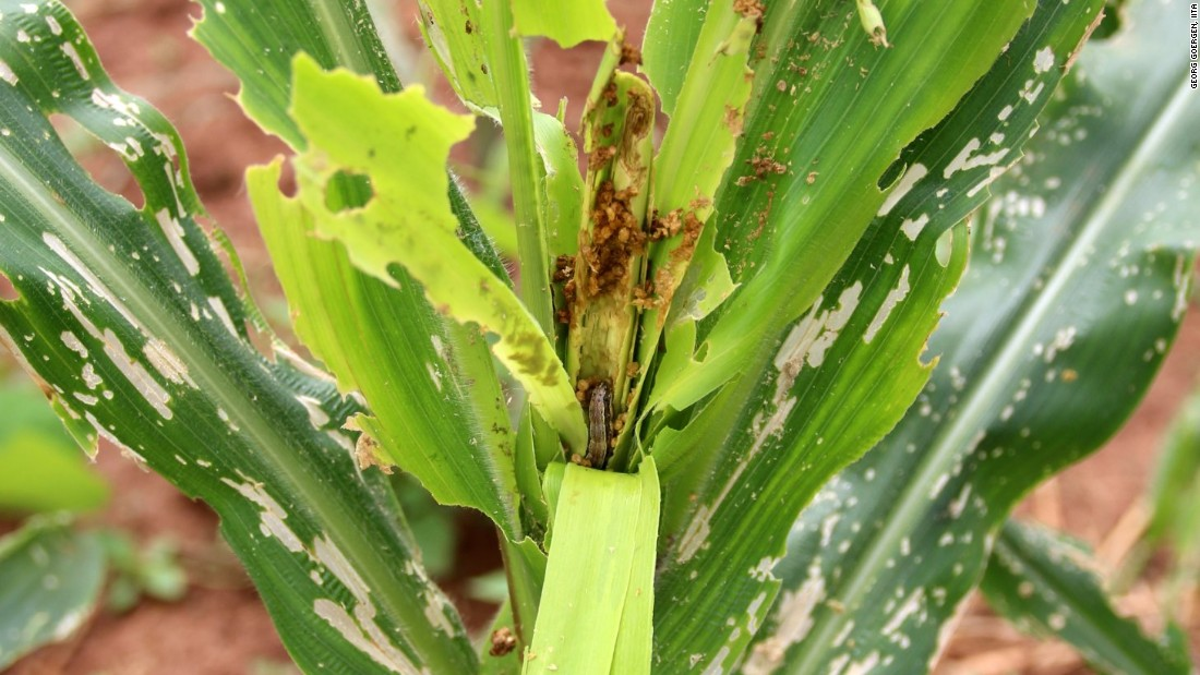 Armyworm caterpillars are devastating maize plants in Zimbabwe, Zambia and Malawi, where it is a staple food crop.