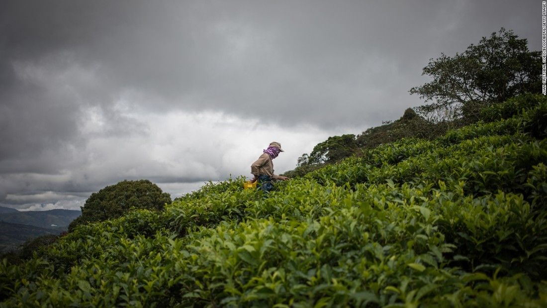 <strong>Valle del Cauca, Colombia: </strong>Agricola Himalaya owns the only tea crops in Colombia and exports to markets in the US and Latin America. Here, a worker picks tea leaves at the Bitaco farm.