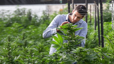 An Israeli agricultural engineer inspects marijuana plants at a greenhouse in the country's second-largest medical cannabis plantation, near Kfar Pines in northern Israel.