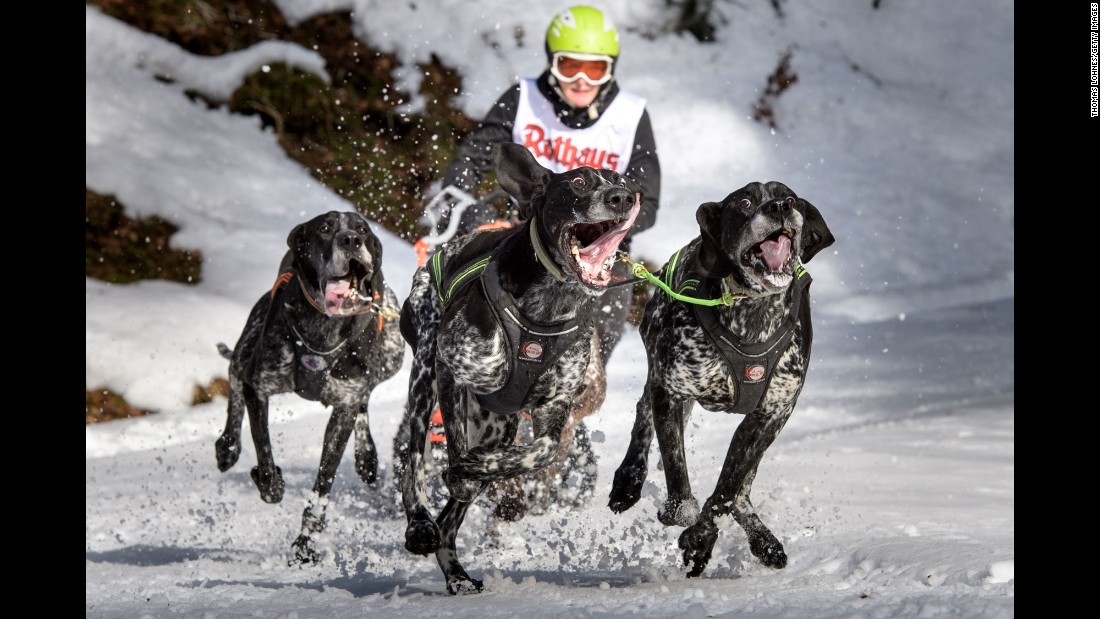 Dogs compete in the International Dog Sled Races on Saturday, January 28. The event was held over two days in Germany's Black Forest region.