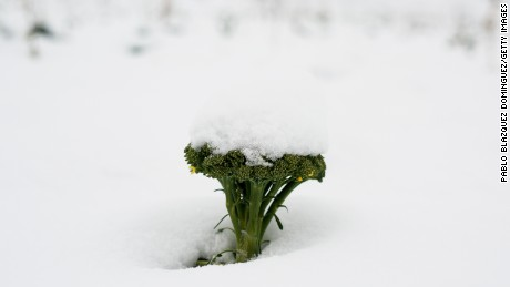 Broccoli is one of several vegetable crops affected by the unusually cold, wet weather in southern Spain.