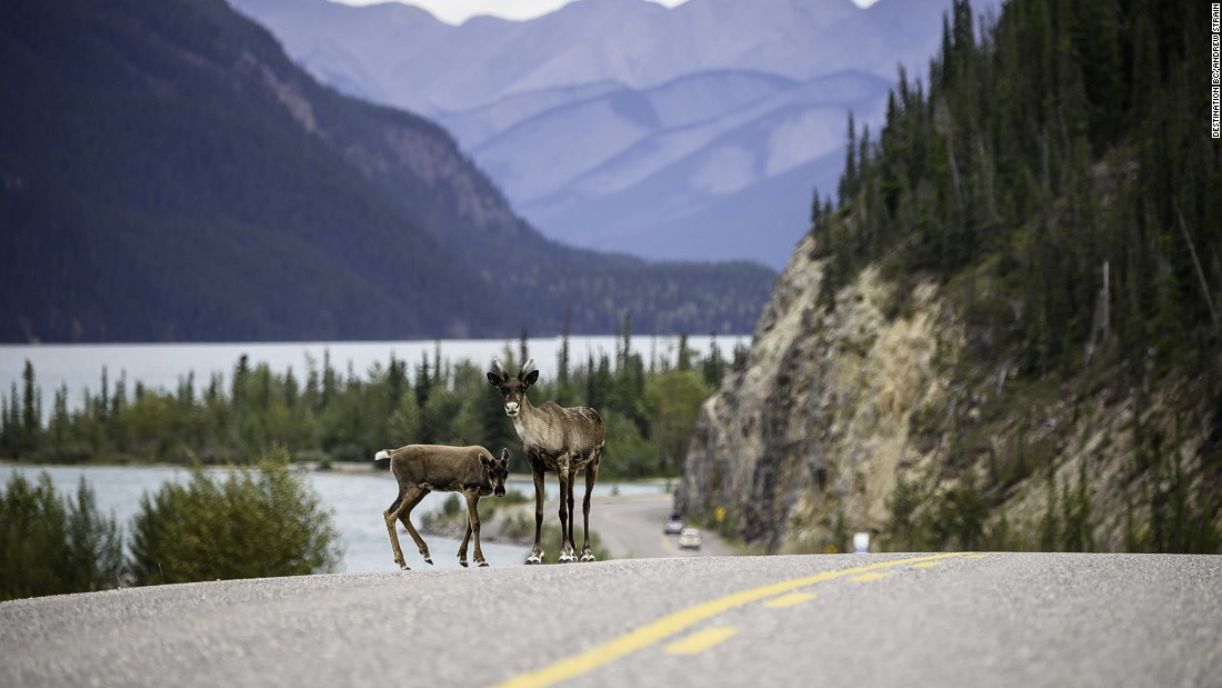 <strong>The Alcan Highway, Canada to Alaska: </strong>This mammoth long-haul route in the moody North American wilderness takes around 31 hours to complete. Pictured: Caribou on the Alaska Highway in Muncho Lake Provincial Park.