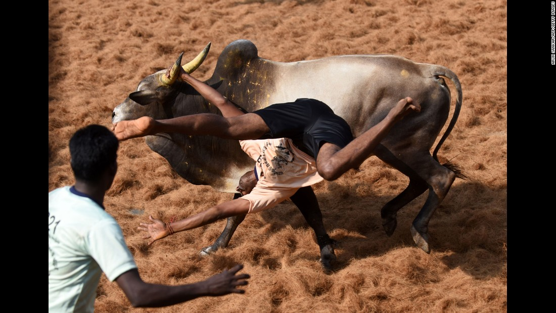 A bull throws a man during a bull-taming event in the Indian village of Palamedu on Thursday, February 9.