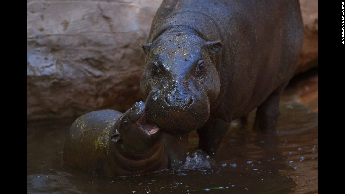 Nimba, a hippopotamus calf, bites its mother, Liberia, at Bioparc Fuengirola, a zoo in Fuengirola, Spain, on Wednesday, February 8.