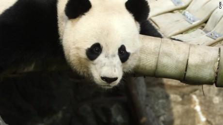 bao bao panda final checkup orig jh_00002619.jpg