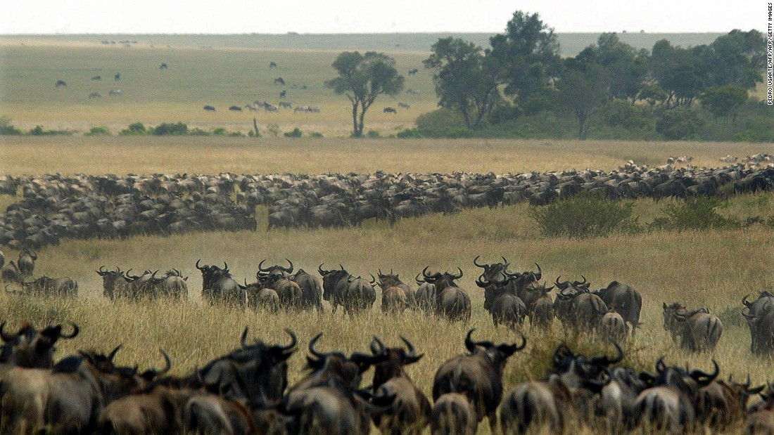 Thousands of wildebeest wind through the Maasai Mara National Reserve in Kenya.