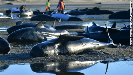 This picture taken on February 11, 2017 shows pilot whales lying on a beach during a mass stranding at Farewell Spit. Most of the more than 200 whales who became stranded on New Zealand's notorious Farewell Spit on the weekend have been able to refloat themselves, conservation officials said on February 12.  / AFP / Marty MELVILLE        (Photo credit should read MARTY MELVILLE/AFP/Getty Images)