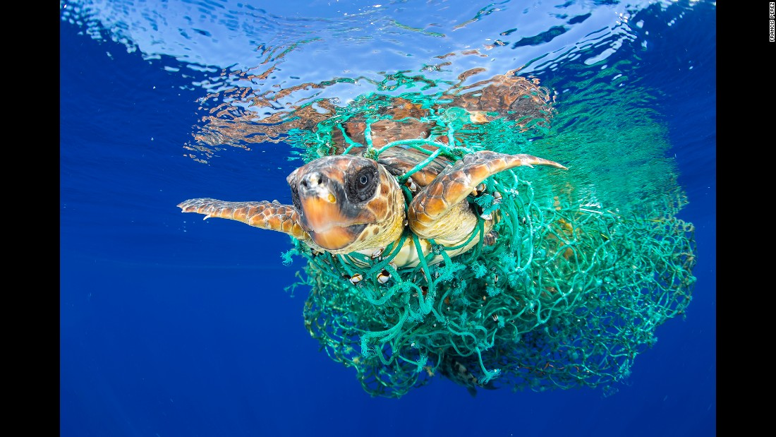 A sea turtle entangled in a fishing net swims off the coast of Tenerife in Spain's Canary Islands on June 8. Sea turtles are considered a vulnerable species by the International Union for Conservation of Nature. Unattended fishing gear is responsible for many sea turtle deaths.