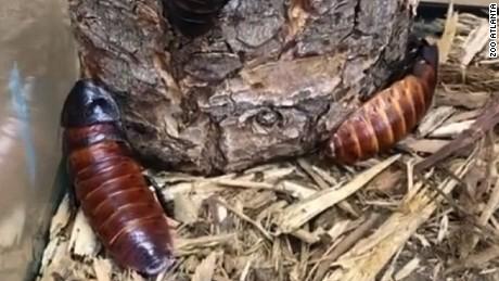 tom brady cockroach