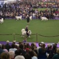 04 Westminster Dog Show 2017