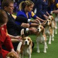 11 Westminster Dog Show 2017
