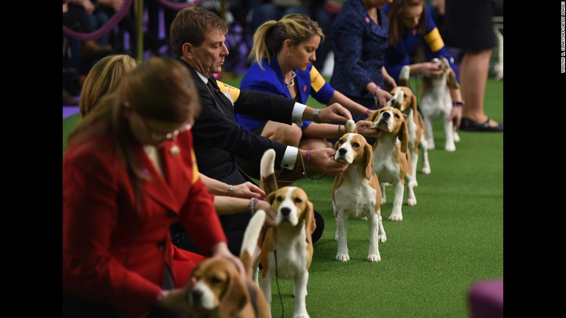 Beagles await judging on February 13.