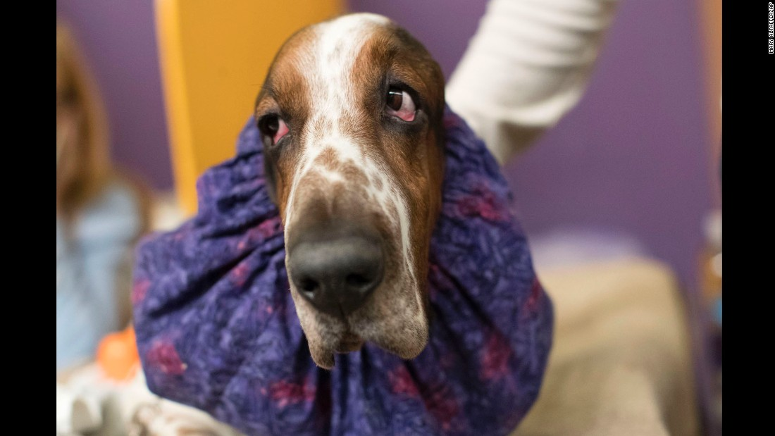 Davis, a basset hound, is seen in the staging area.