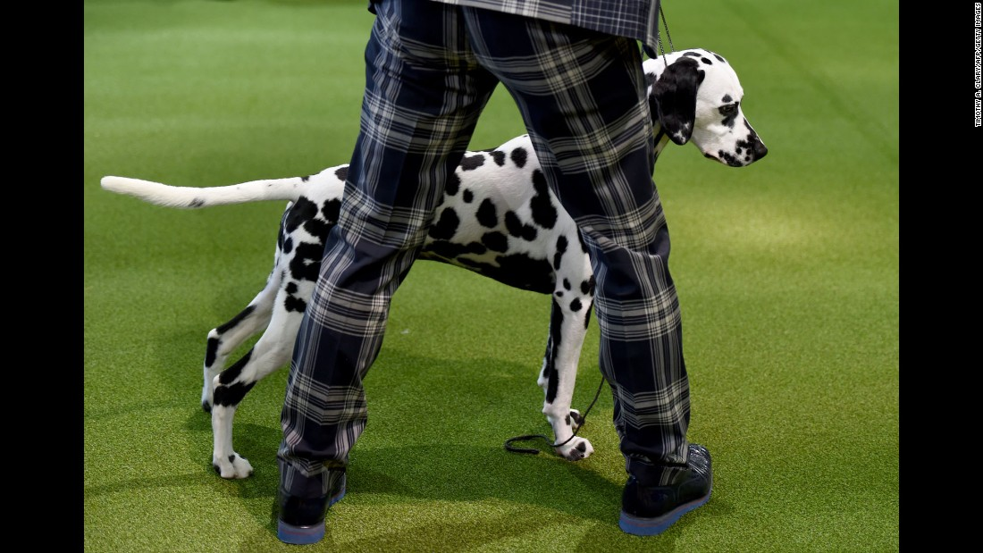 A handler and Dalmation are seen in the judging ring on February 13.
