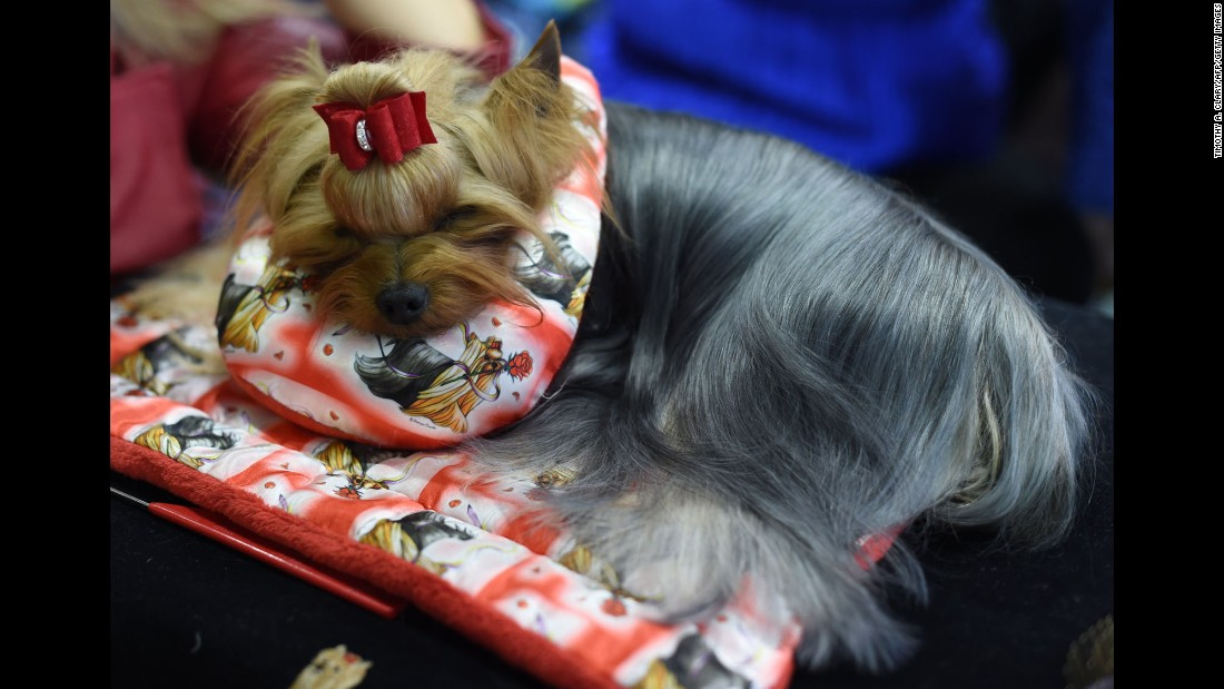 A Yorkshire Terrier sleeps in the benching area on February 13.