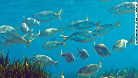"""Mediterranean bream fish (Sarpa salpa) are pictured in the Mediterranean Sea, off the Sormiou creek near Marseille in southern France, on September 7, 2012. An ivestigation by the University of British Columbia in western Canada, published by the journal Nature Climate Change, reported on September 30, 2012 that a hearty fillet of fish, already a rare treat because of over-trawled oceans, will become even more infrequent in the future when global warming starts to reduce fish size. """"A warmer and less-oxygenated ocean, as predicted under climate change, would make it more difficult for bigger fish to get enough oxygen, which means they will stop growing more"""", according to scientist Daniel Pauly of the University of British Columbia.   AFP PHOTO / BORIS HORVAT        (Photo credit should read BORIS HORVAT/AFP/Getty Images)"""