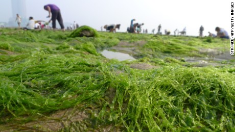 Chinese residents collect seaweed by the coastline in Qingdao after a break-out of algae bloom, May 27, 2012.