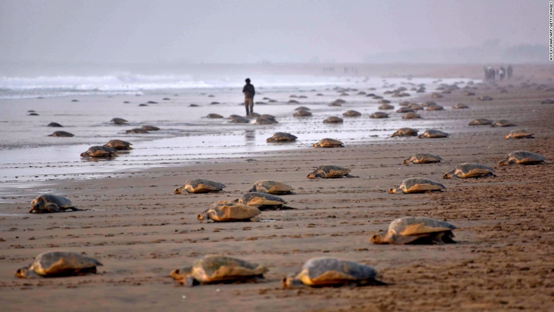 Olive ridley turtles return to the sea after laying eggs on India's Rushikulya beach on Thursday, February 16.