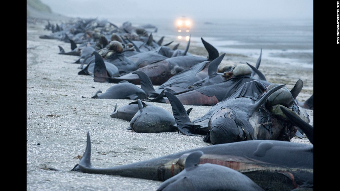 "Dead pilot whales are seen on a beach on New Zealand's South Island on Sunday, February 12. <a href=""http://www.cnn.com/2017/02/13/asia/beached-whales-new-zealand/"" target=""_blank"">About 400 whales died</a> in what was the third-largest mass beaching of whales in the country's history."