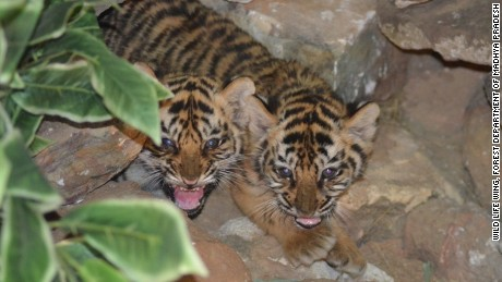 Two Indian cubs hiss at the camera after being nursed back to health.