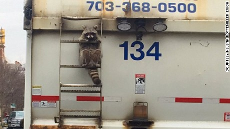 Politico reporter captures adorable raccoon trapped on back of garbage truck.