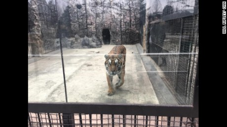 A tiger at the Pyongyang zoo on Sunday, February 19.