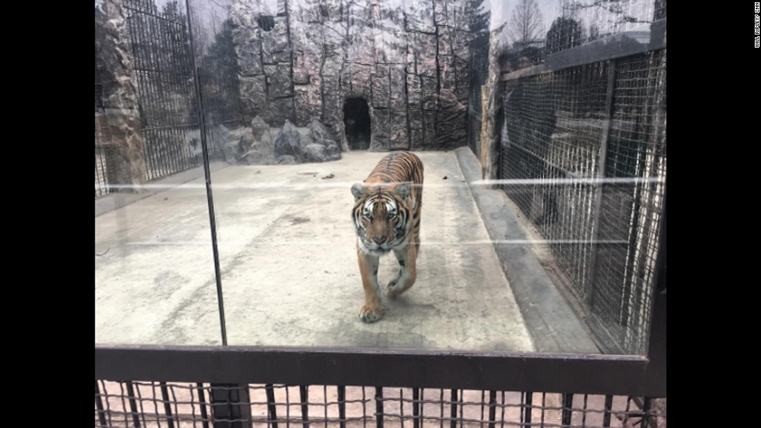 "A tiger is seen at a zoo in Pyongyang, North Korea, on Sunday, February 19. CNN's Will Ripley, Justin Robertson and Tim Schwartz are the only Western broadcasters reporting from North Korea since it conducted a ballistic missile test on Sunday, February 12. <a href=""http://www.cnn.com/2017/02/15/asia/north-korea-photos-video/"" target=""_blank"">See their dispatches from the world's most reclusive country</a>"