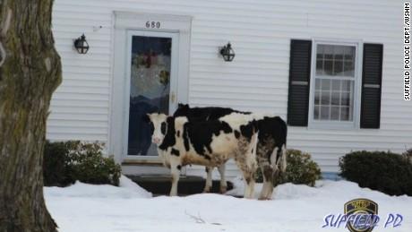 Cows escape, end up a neighborhood front door