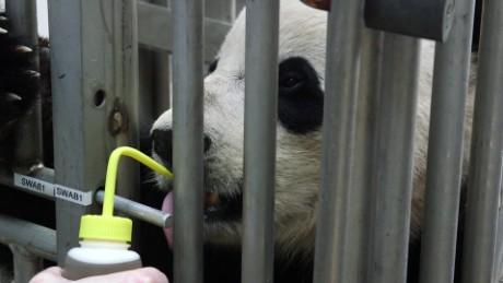 cnnmoney bao bao panda china trip