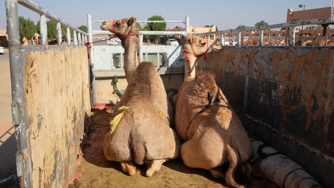 <strong>Camel trucks: </strong>Once purchased, bigger camels get loaded onto the back of trucks to be driven away. They're bought for meat, usually to be cooked and served at celebrations such as weddings.
